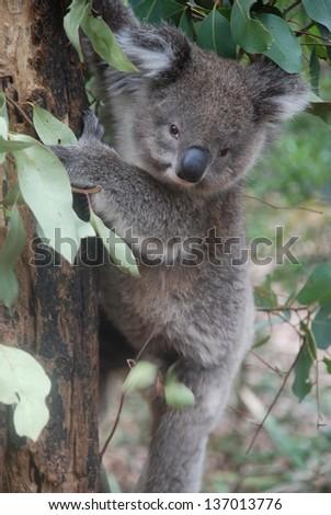 Koala climbs down the tree at Healesville Sanctuary, Victoria, Australia - stock photo