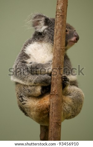 Koala clinging on a branch  Cairns Queensland Australia - stock photo