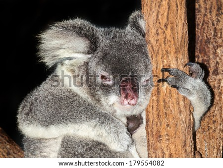 koala clinging to a eucalyptus gum tree. - stock photo