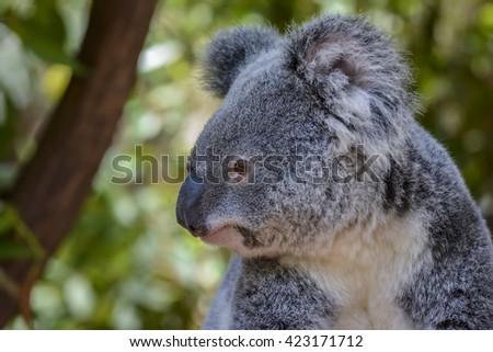Koala in Brisbane, Queensland, Australia - stock photo