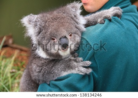 Koala in human arms - stock photo