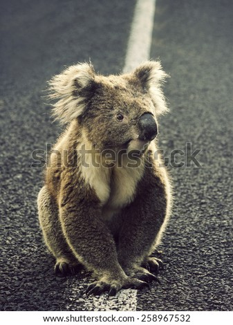 Koala in them middle of the road. Victoria, Australia - stock photo