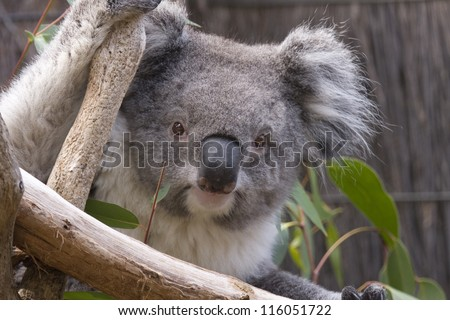 Koala looking from the branches, Australia - stock photo