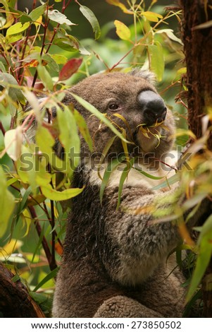 Koala sitting in a gum tree eating fresh green leaves in a forest in south east Victoria, Australia