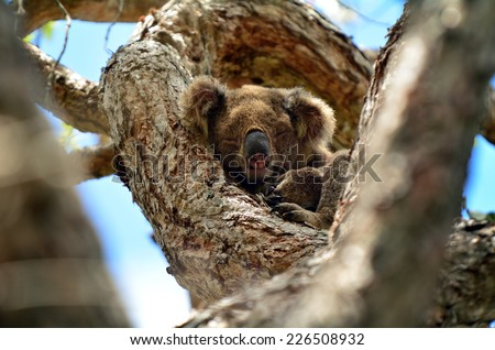 Koala sleep on a tree at Coombabah Lake Conservation Park in Gold Coast Queensland, Australia. - stock photo