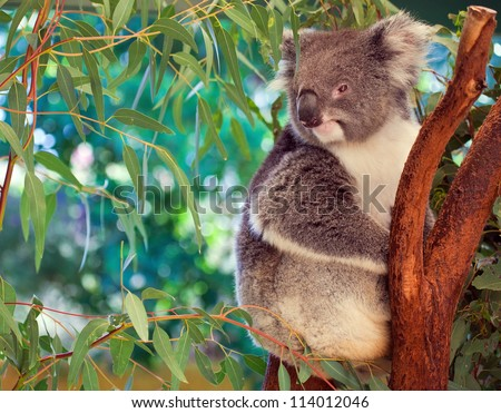Koala,  western Australia - stock photo
