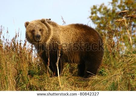 kodiak brown bear cup - stock photo