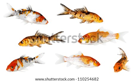 Koi Carp isolated on white background with clipping path - stock photo