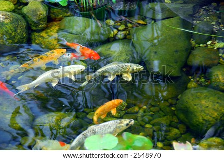 Koi fish in a natural stone pond - stock photo