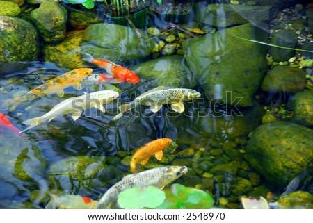 Koi fish natural stone pond stock photo 2544326 shutterstock for Stone koi pond