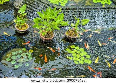 Koi fish swimming in the pond, selective focus.   - stock photo
