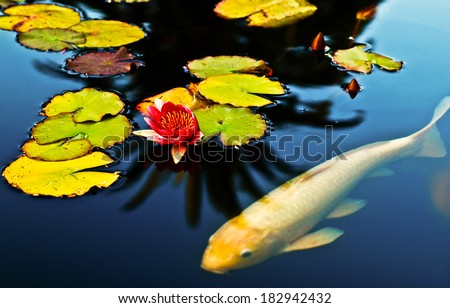 Koi fish swimming peacefully in a lotus pond. - stock photo