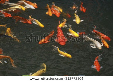 Koi Fish Pond Stock Photo 583507531 Shutterstock