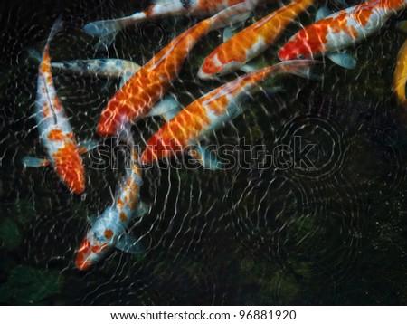 Koi fish with water ripple - stock photo
