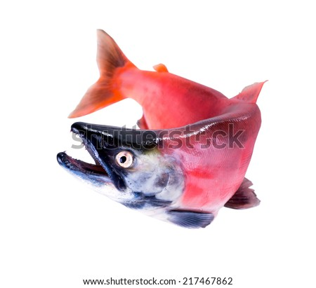 Kokanee Salmon (Oncorhynchus nerka) in its spawning colors  isolated on white background - stock photo
