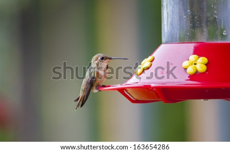Kolibri in Olympic National Park, USA - stock photo