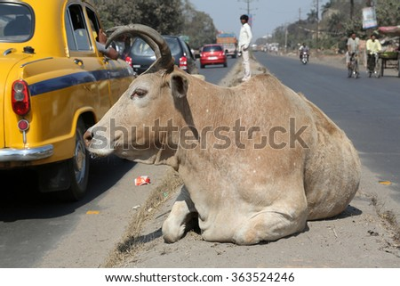 KOLKATA, INDIA - FEBRUARY 09: Cow resting between two lanes of a busy street in Kolkata, West Bengal, India, on February 09, 2014. - stock photo