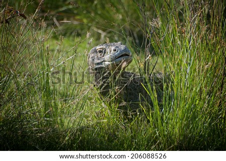 Komodo Dragon. A Komodo dragon hides in the tall grass. A member of the monitor lizard family (Varanidae), it is the largest living species of lizard, growing to a maximum length of 3 metres (10 ft). - stock photo