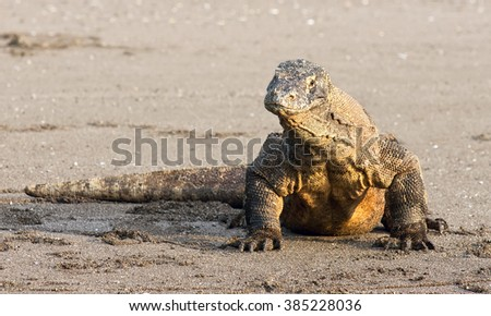Komodo dragon, famous meat-eating reptile lizard species. The habitat is Komodo and Rincha Islands. - stock photo