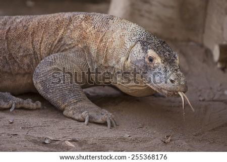 Komodo Dragon in Zoo - stock photo