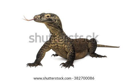 Komodo Dragon sticking the tongue out, isolated on white (4 years old) - stock photo