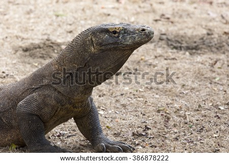 Komodo Dragon, the largest lizard in the world. Indonesia