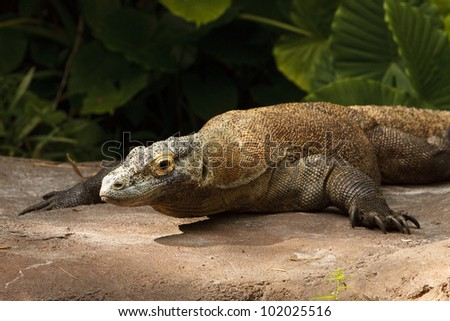 Komodo dragon under the sun light