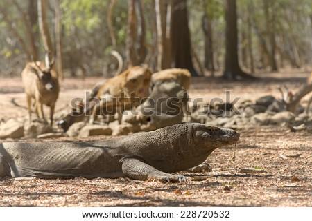 Komodo Dragon watching a group of wild deers at the waterhole - stock photo