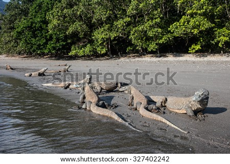 Komodo dragons (Varanus komodoensis) lay on a volcanic beach on the southern coast of Rinca Island in Komodo National Park, Indonesia. There are only a few thousand Komodo dragons left on Earth.
