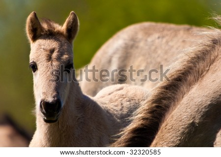 Konik horse foal close to his mother