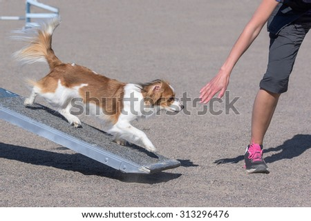 Kooikerhondje walking on teeter obstacle in agility competition
