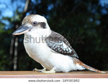 Kookaburra (genus Dacelo)/A friendly Kookaburra/A friendly Kookaburra sits on a balcony rail in Queensland Australia. - stock photo