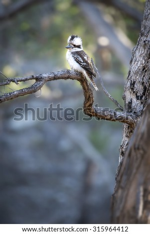 Kookaburra on tree branch - stock photo