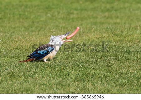 Kookaburra tossing a sausage. A cheeky little blue-winged kookaburra manipulates a sausage it has stolen. - stock photo