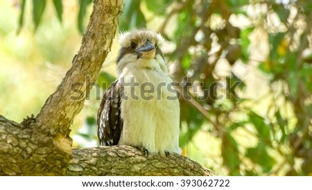 Kookaburra with beige and brown feathers perched on tree - stock photo