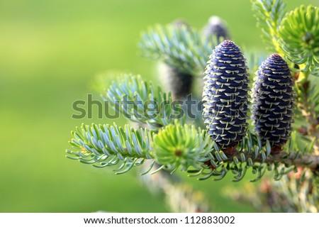 Korean fir - cones green nature - stock photo