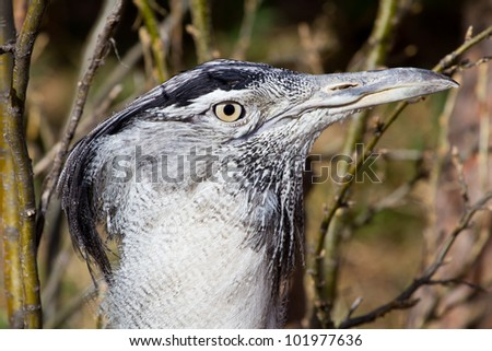Kori Bustard Closeup - stock photo