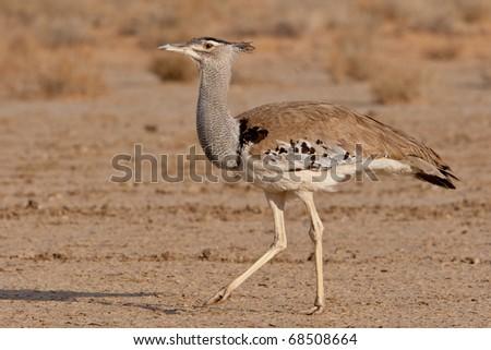 Kori Bustard, Kalahari Desert - stock photo