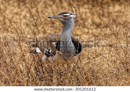 kori bustard, the heaviest flying bird in Ngorongoro Crater, Tanzania, Africa