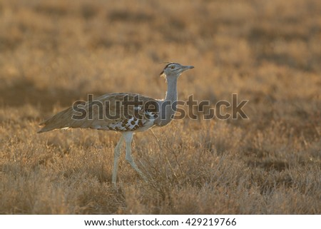 Kori bustard walking in arid grassland at sunrise, Kruger National Park