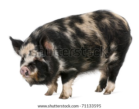 Kounini pig in front of white background - stock photo