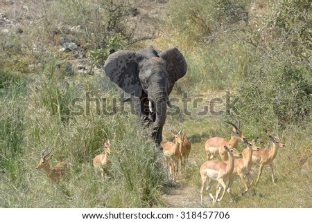 Kruger National Park African elephant Loxodonta africana - stock photo