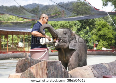 KUALA GANDAH, MALAYSIA - 2016 MAC 5 : Man show how to give milk to the baby elephant.Elephant Orphanage Sanctuary in Kuala Gandah. Baby elephant calf rescued after mother's death. - stock photo