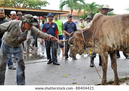 KUALA LUMPUR - NOV. 7: An unidentified  Muslim man touches his cow gently before offering it as sacrifice during Eid Al-Adha the Feast of Sacrifice November 7, 2011 in Kuala Lumpur, Malaysia. - stock photo