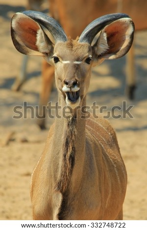 Kudu Antelope - African Wildlife Background - Expressions from the Wild