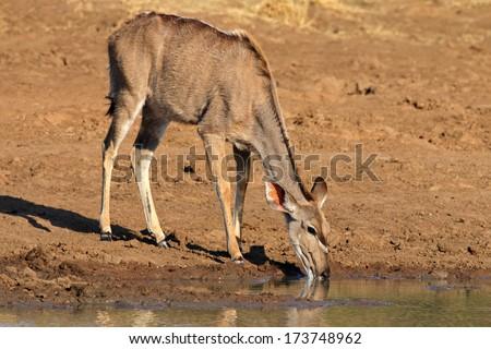 Kudu antelope (Tragelaphus strepsiceros) drinking water, Pilanesberg National Park, South Africa - stock photo