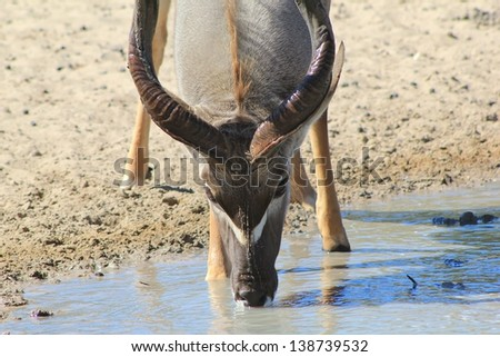 Kudu Antelope - Wildlife from Africa - With white chevron marking over the muzzle clearly visible, many people belief it is the fingers of God that made this animal as beautiful as it is.