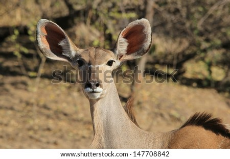 Kudu Antelope - Wildlife from Namibia, Africa - Listening for danger.  This adult cow is alert to danger.