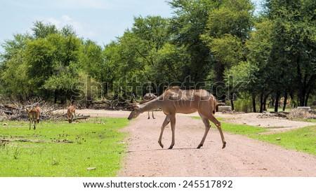 Kudu at the Gaborone Game Reserve in Gaborone, Botswana - stock photo
