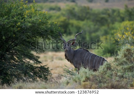 Kudu at the Sanbona Wildlife Reserve in South Africa - stock photo